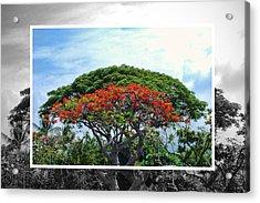 Monkey Pod Trees - Kona Hawaii Acrylic Print