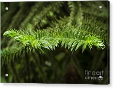 Acrylic Print featuring the photograph Monkey Puzzle by Maria Janicki