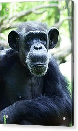 Monkey See Monkey Do Acrylic Print by B Wayne Mullins