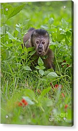 Monkey Shock Acrylic Print by Ashley Vincent