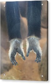 Monkeying Around  Acrylic Print