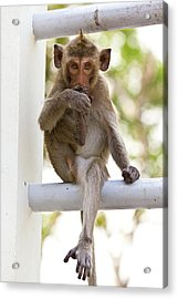Monkeys Cute Sitting On A Steel Fence Acrylic Print by Tosporn Preede