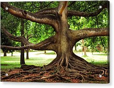 Monster Tree. Old Fig Tree In Peradeniya Garden. Sri Lanka Acrylic Print