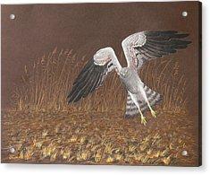 Montagus Harrier Acrylic Print by Deak Attila