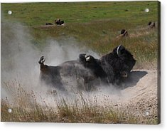 Montana Bison 1 Acrylic Print by T C Brown