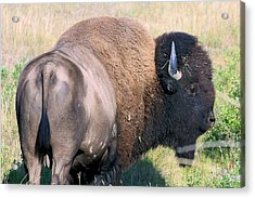 Montana Buffalo Bison Bull Acrylic Print by Karon Melillo DeVega