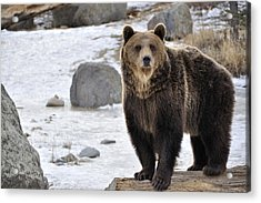Montana Grizzly  Acrylic Print by Fran Riley