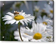 Montauk Daisy With Bee  Acrylic Print by Bob Mulligan