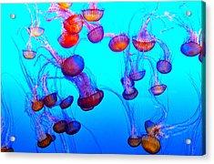 Monterey Bay Jellyfish Acrylic Print