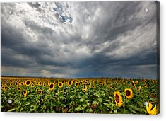 Moody Skies Over The Sunflower Fields Acrylic Print