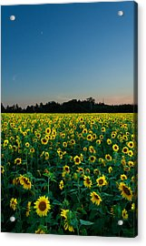 Moon And Sunflowers Acrylic Print