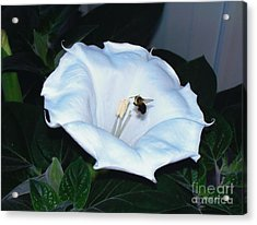 Acrylic Print featuring the photograph Moon Flower by Thomas Woolworth