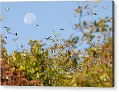 Moon Over The Dunes Acrylic Print