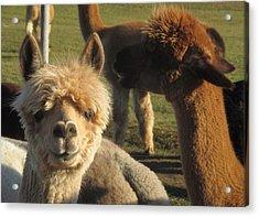 Moonacre Alpacas 2 Acrylic Print