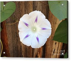 Moonflower On Wood Acrylic Print by Tayt Dame