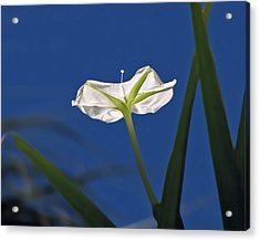 Moonflower Acrylic Print by Peg Urban