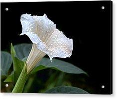 Moonflower - Rain Drops Acrylic Print by Nikolyn McDonald