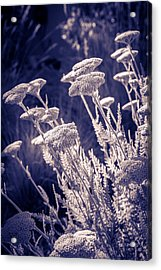 Moonlight Yarrow Acrylic Print by Dave Garner