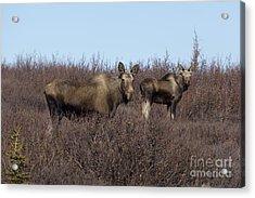 Moose And Calf Acrylic Print by Al Sheldon