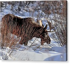 Acrylic Print featuring the photograph Moose At Sunset In Winter by Yeates Photography