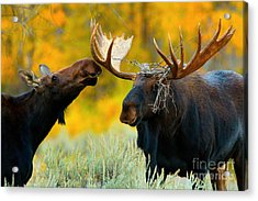 Acrylic Print featuring the photograph Moose Be Love by Aaron Whittemore