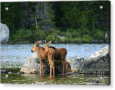 Moose Calves In Maine Acrylic Print by Jeannette Hunt