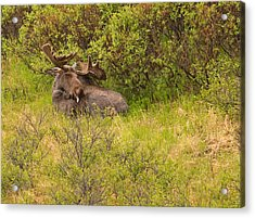Moose Cleaning Itself Acrylic Print