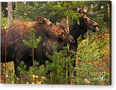 Moose Family At The Shredded Pine Acrylic Print by Stanza Widen