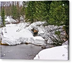 Moose In Alaska Acrylic Print