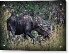 Moose In The Meadow Acrylic Print