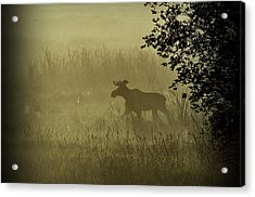 Moose In The Mist Acrylic Print