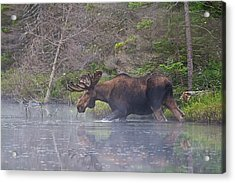 Moose In The Mist Acrylic Print by Rhys Templar