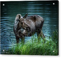 Moose In The Water Acrylic Print by Andrew Matwijec