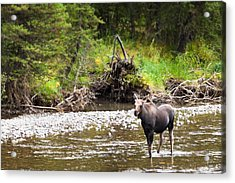 Moose In Yellowstone National Park   Acrylic Print by Lars Lentz