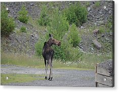 Acrylic Print featuring the photograph Moose by James Petersen