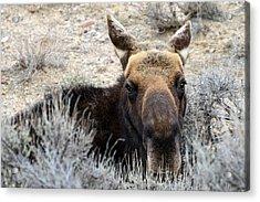 Moose Mugshot Acrylic Print
