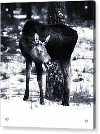 Acrylic Print featuring the photograph Moose by Rose-Maries Pictures