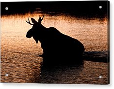 Moose Silhouette 3569   Acrylic Print by Brent L Ander