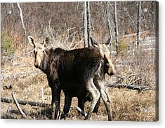 Moose X Two Acrylic Print by Carolyn Reinhart