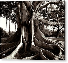 Moreton Bay Fig Acrylic Print