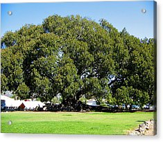 Moreton Fig Tree In Santa Barbara Acrylic Print