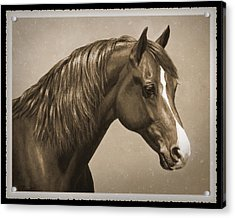 Morgan Horse Old Photo Fx Acrylic Print by Crista Forest