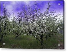 Morning Apple Blooms Acrylic Print