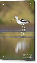 Acrylic Print featuring the photograph Morning Avocet by Bryan Keil