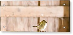 Morning Bird Acrylic Print