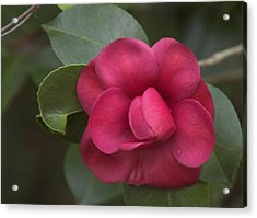 Acrylic Print featuring the photograph Morning Camellia by Penny Lisowski