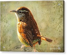 Morning Carolina Wren Acrylic Print by Debbie Portwood