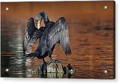 Morning Cormorant Acrylic Print by David Bond