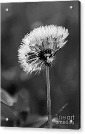 Morning Dandelion Acrylic Print
