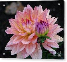Morning Dew  Dahlia Acrylic Print